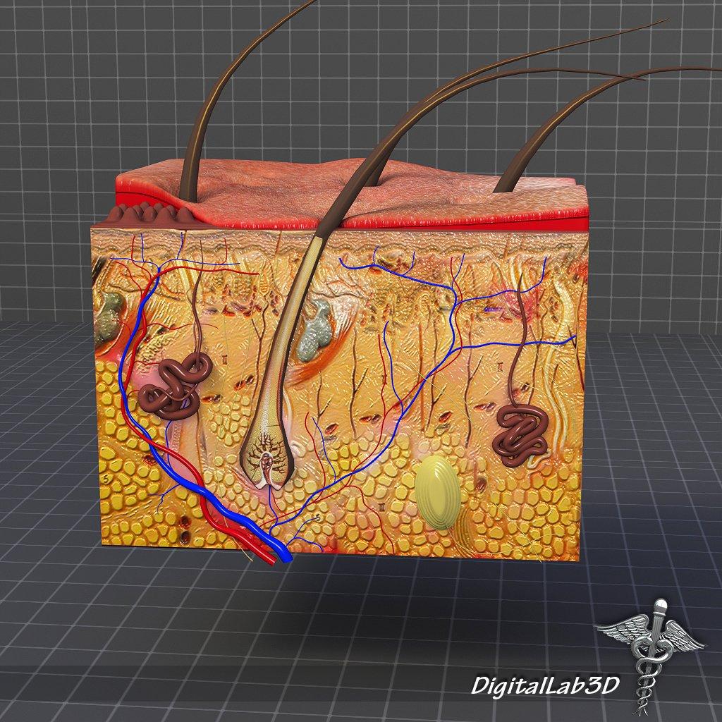Skin Anatomy 3D Model in Anatomy 3DExport