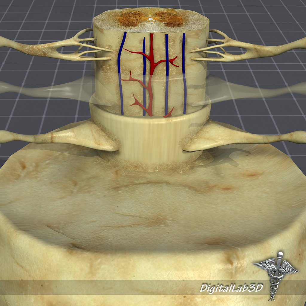 Spinal Cord Anatomy 3D Model in Anatomy 3DExport