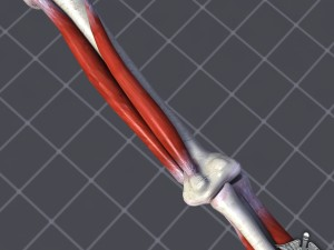 Human Elbow Bone and Muscle Structure