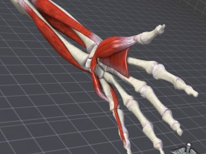 Human Forearm Bone and Muscle Structure