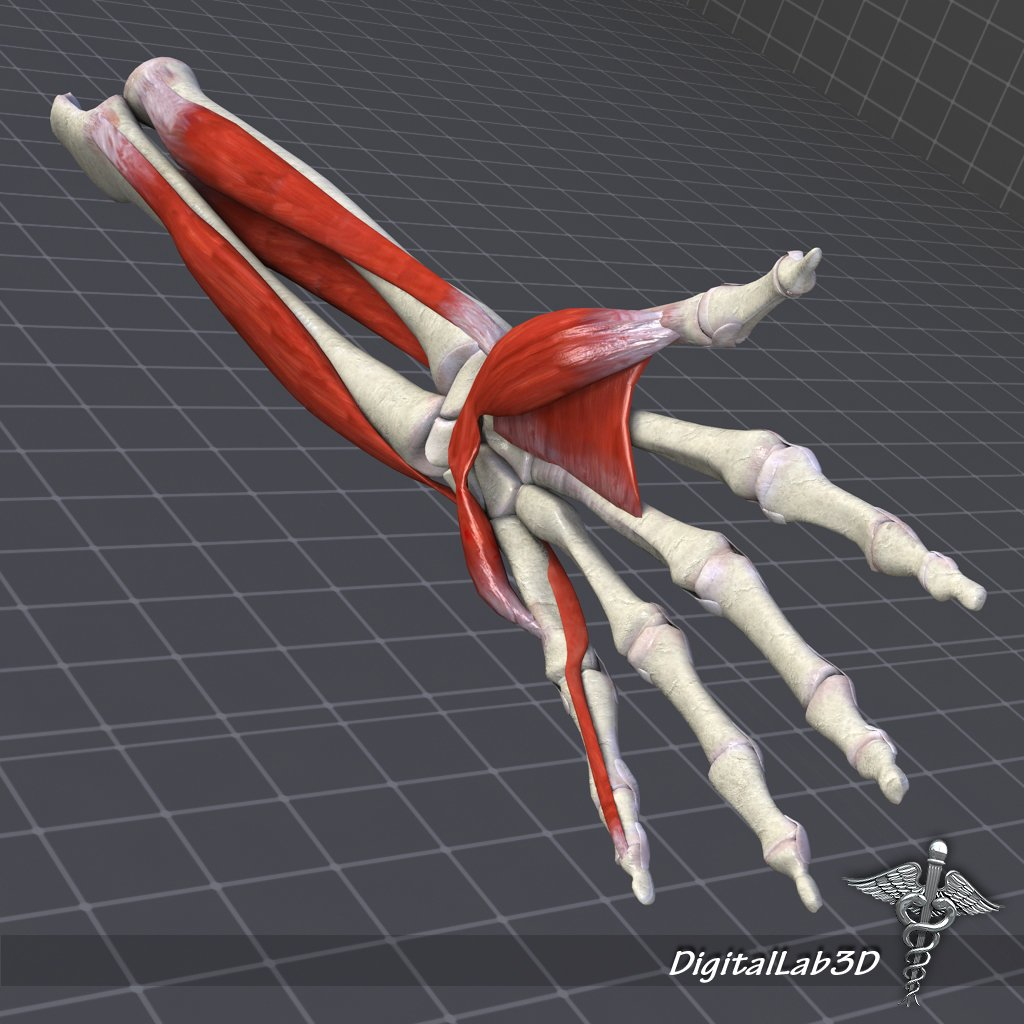 Human Forearm Bone And Muscle Structure 3d Model In Anatomy 3dexport