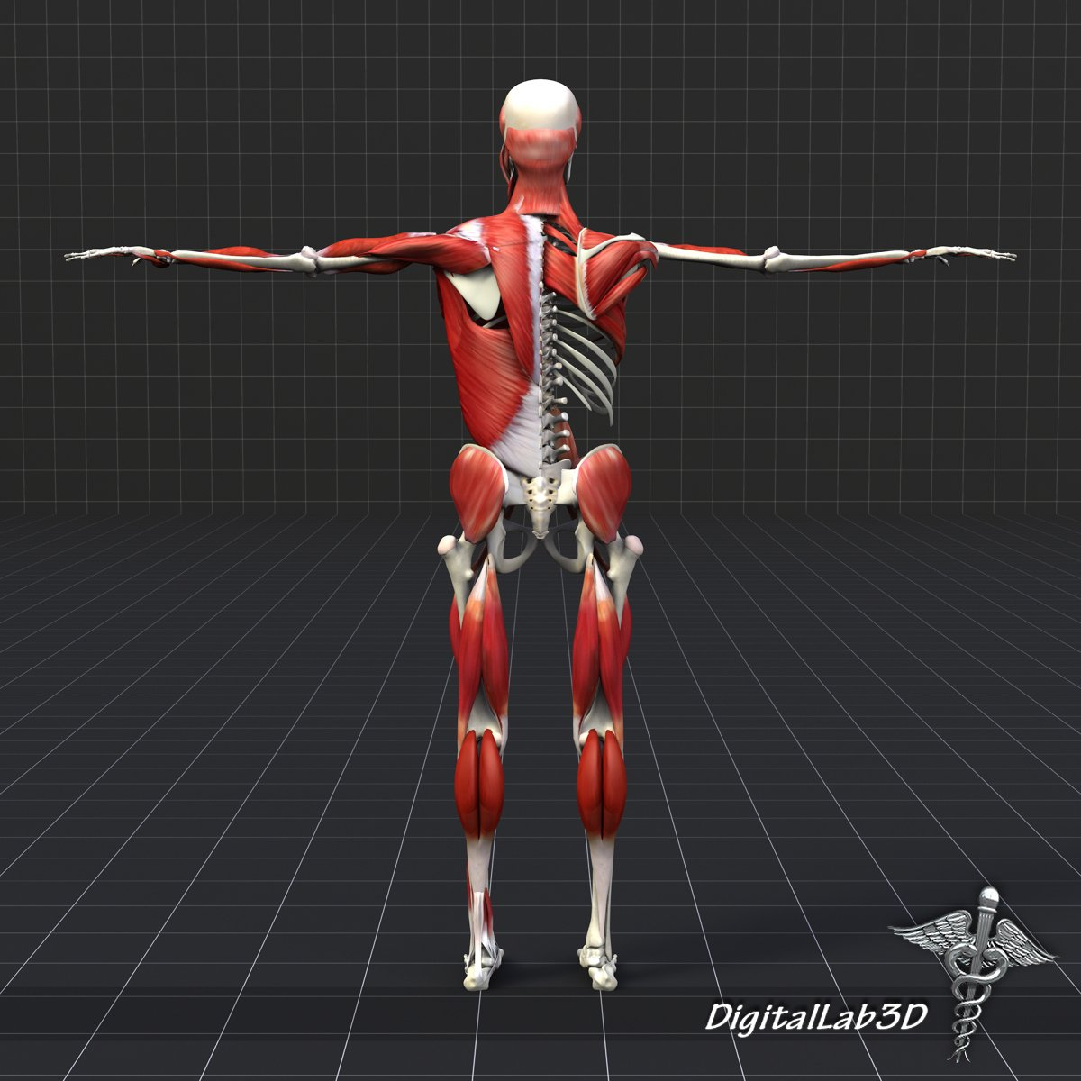 Human Muscle And Bone Structure 3d Model In Anatomy 3dexport