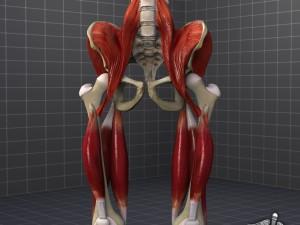 Pelvis Muscular Group