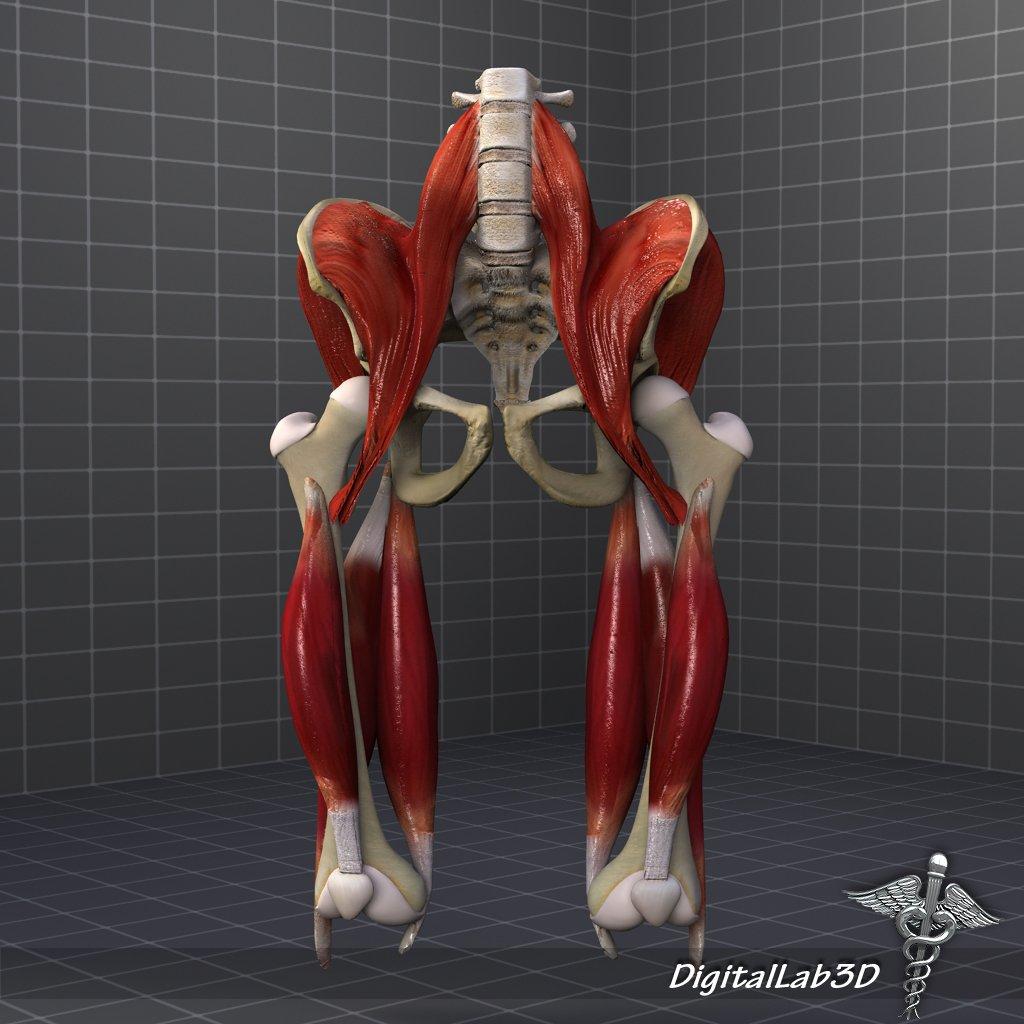 Pelvis Muscular Group 3d Model In Anatomy 3dexport