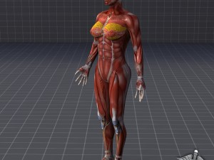 Rigged - Human Female Muscular System