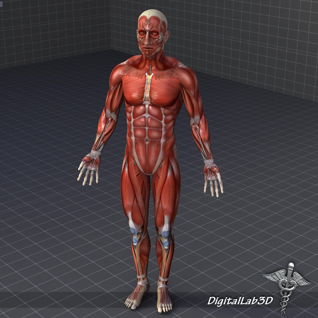 Rigged - Human Male Muscular System 3D Model in Anatomy 3DExport