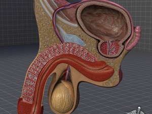 Human Male Genital Anatomy