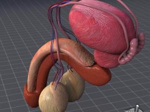 Human Male Reproductive Anatomy