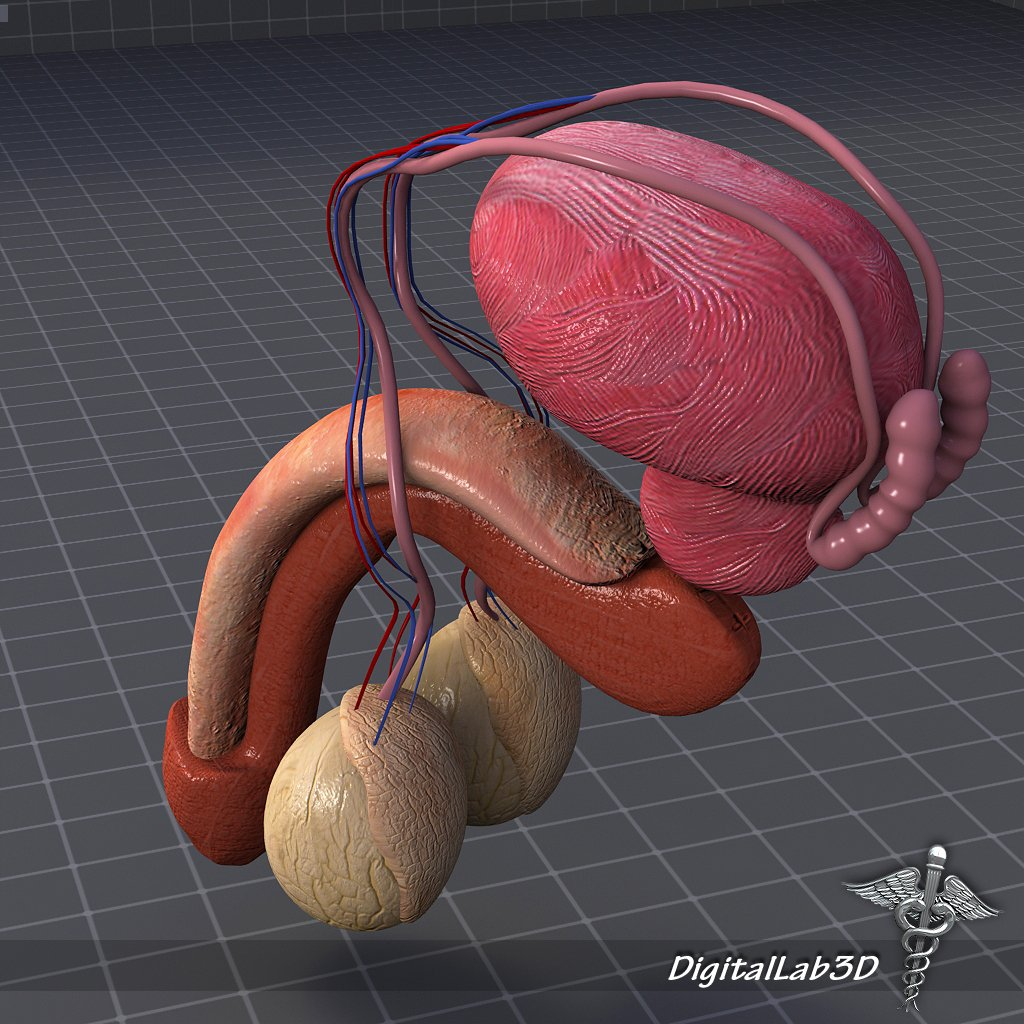 Human Male Reproductive Anatomy 3D Model in Anatomy 3DExport