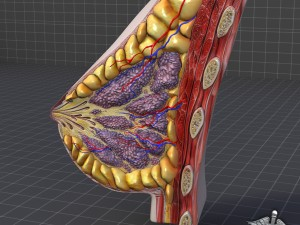 Human Female Breast Anatomy