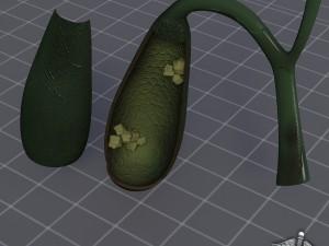 Gall Bladder Anatomy