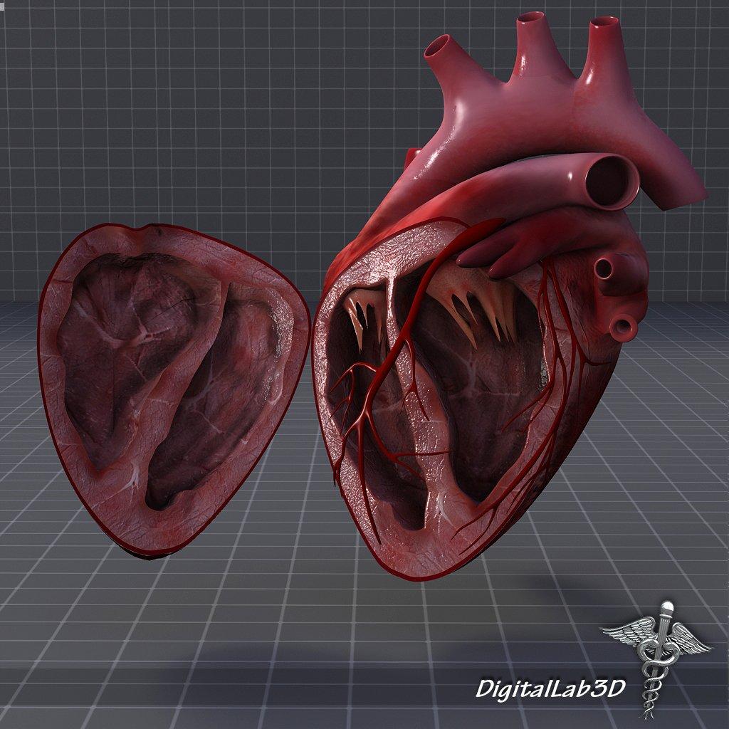 Heart Anatomy 3D Model in Anatomy 3DExport