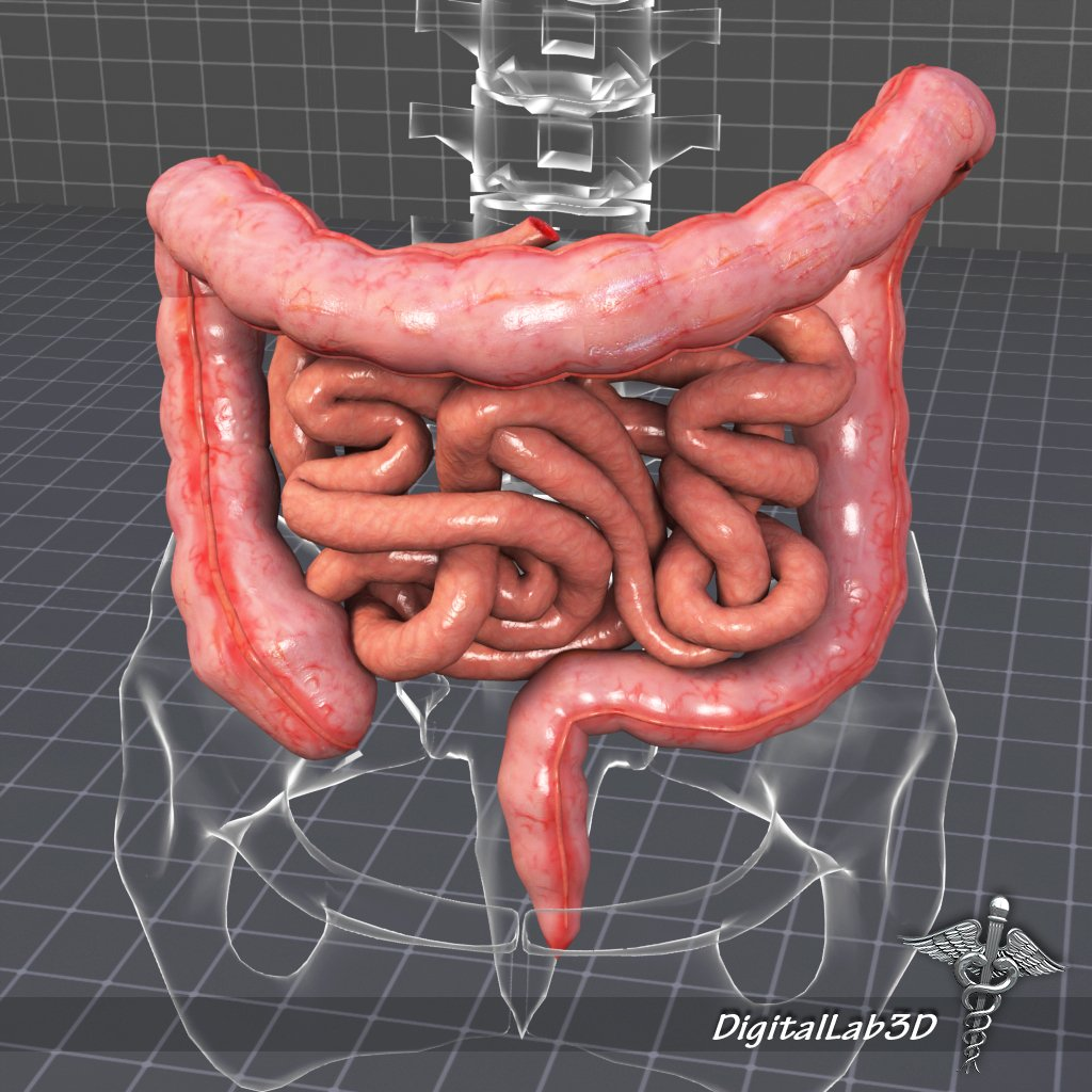 Human Large And Small Intestines Anatomy 3d Modell In Anatomie 3dexport