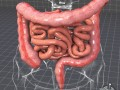 Human Large and Small Intestines Anatomy