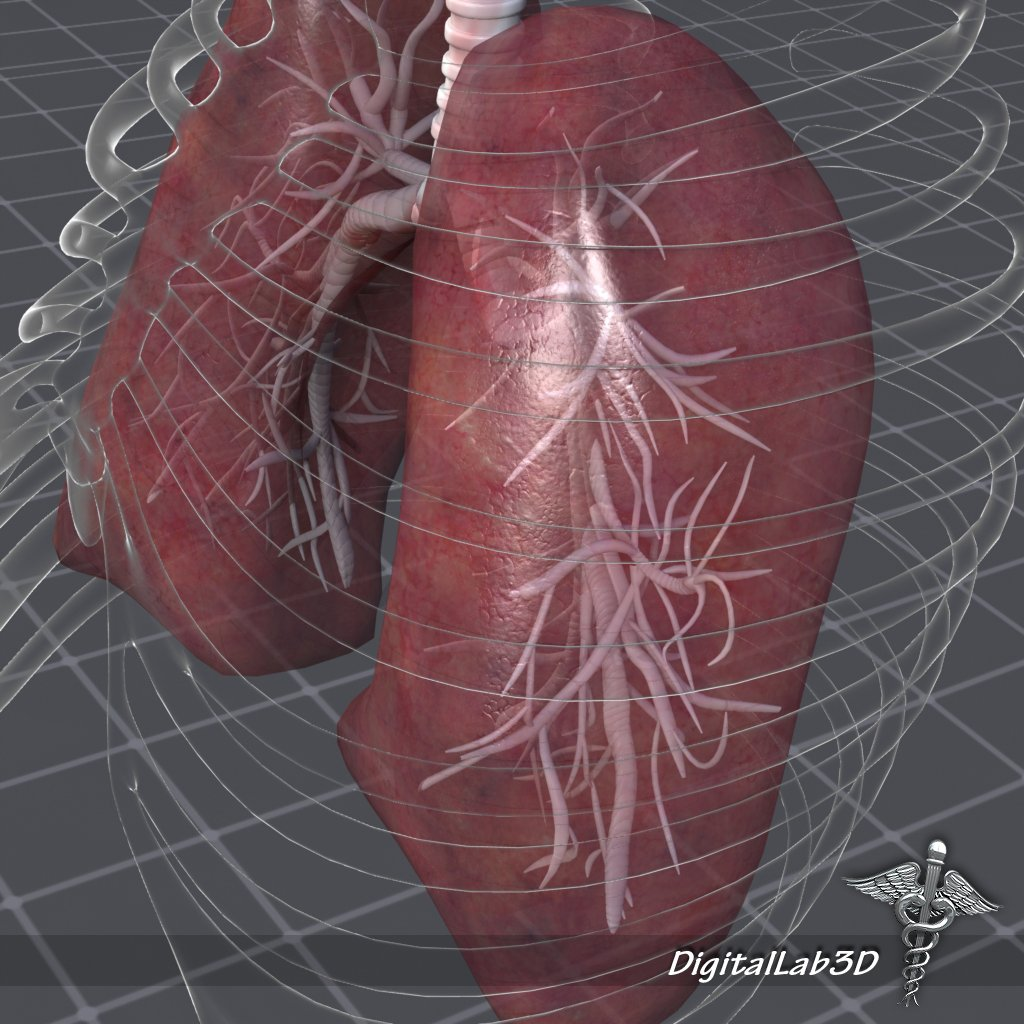 Lungs Anatomy 3d Model In Anatomy 3dexport
