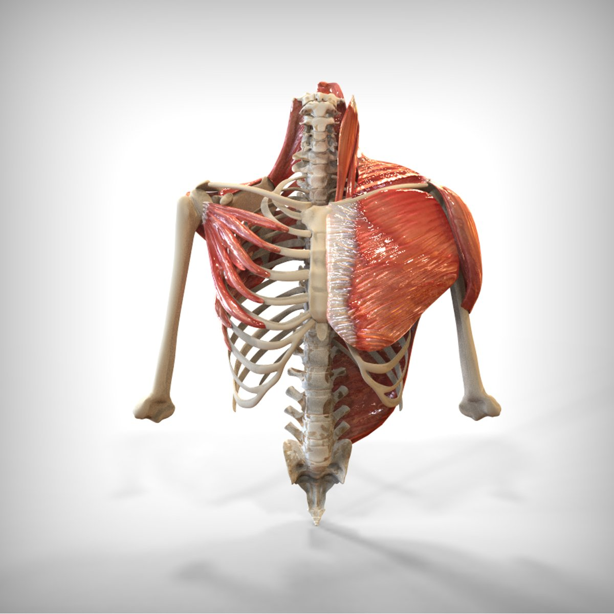 Human Upper skeletal and Connecting Muscles 3D-Modell in Anatomie ...