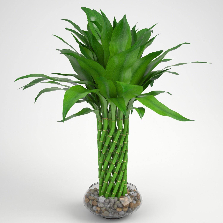 Lucky Bamboo 3d Model In Small Plants 3dexport