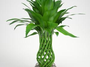 Lucky Bamboo 2