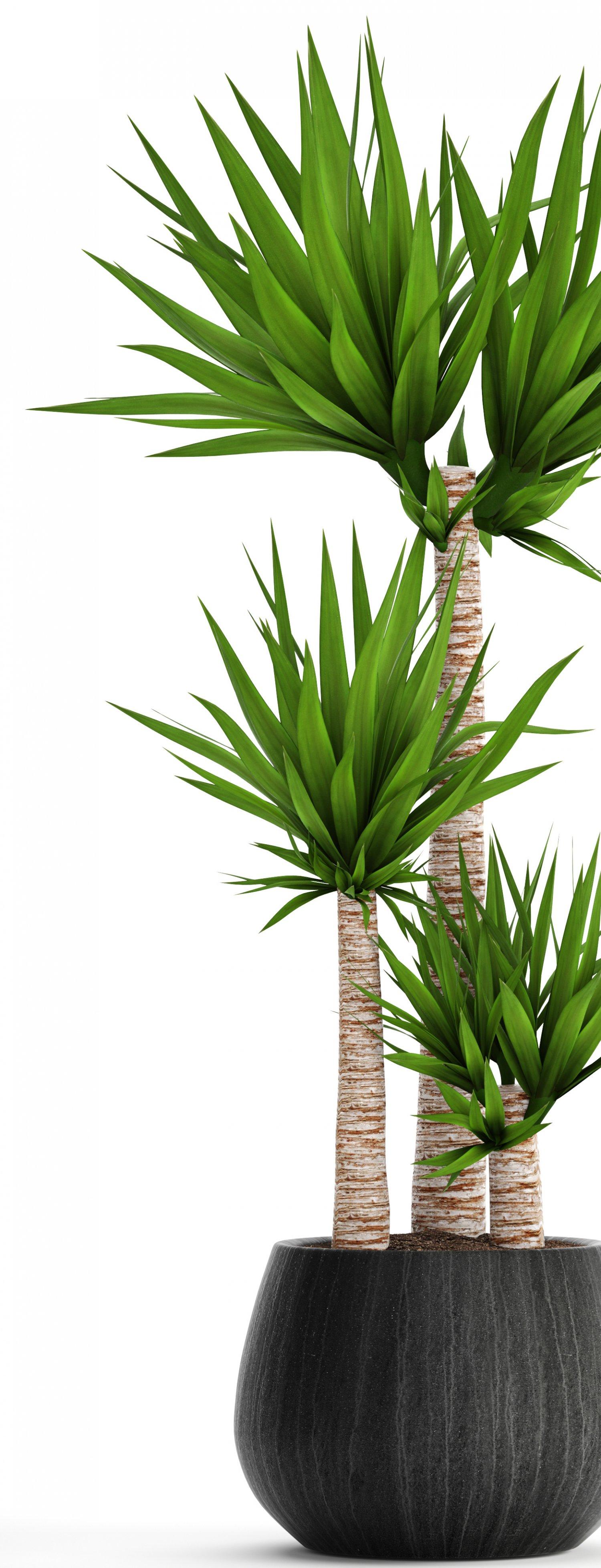 Yucca Dans Salle De Bain ~ yucca elephantipes mod le 3d in arbre 3dexport