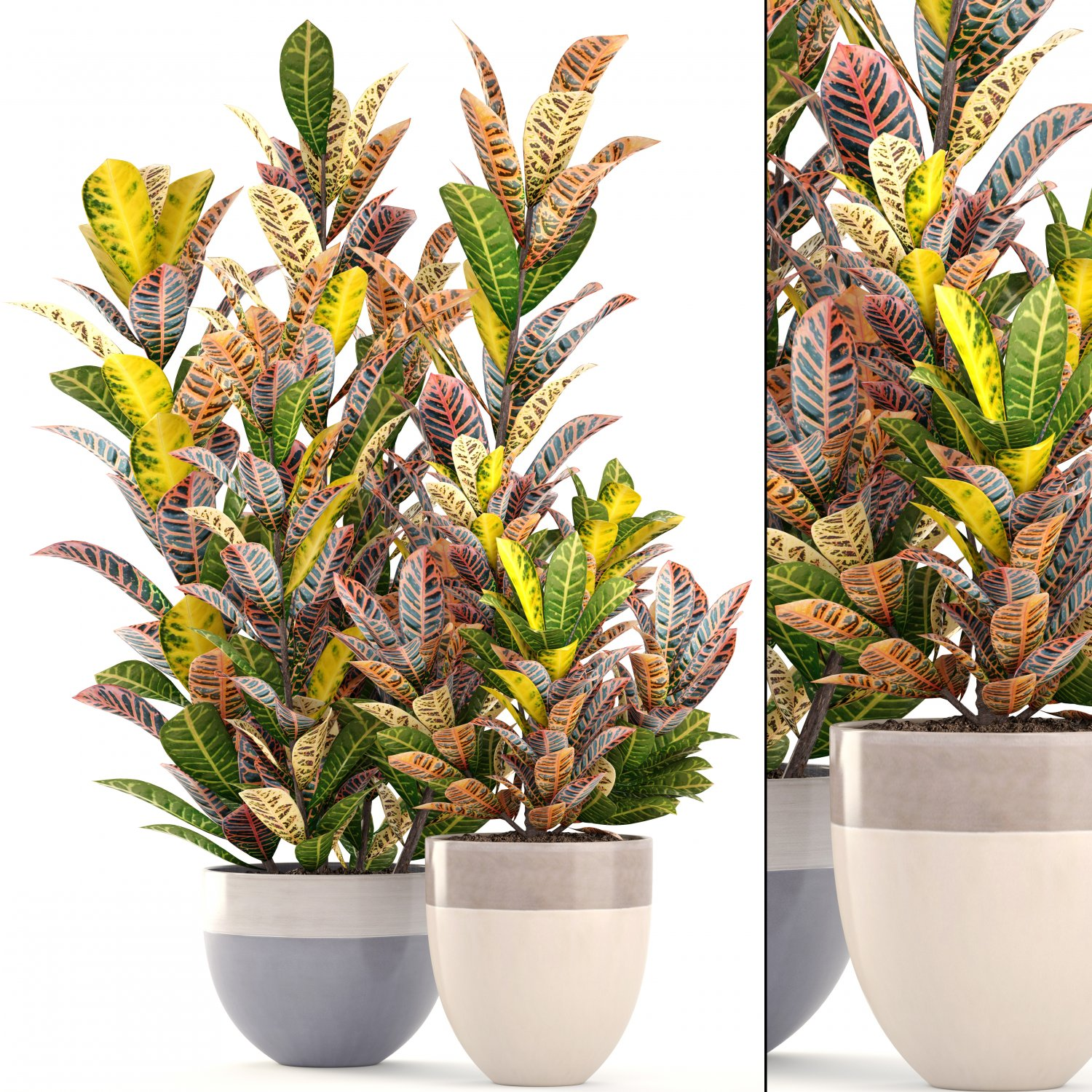 Croton plants 3D Model in Small Plants 3DExport
