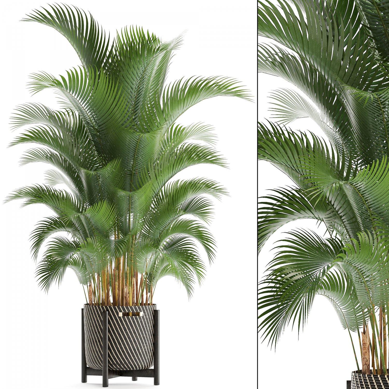 Howea palm 3D Model in Small Plants 3DExport