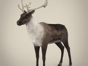 Realistic Reindeer