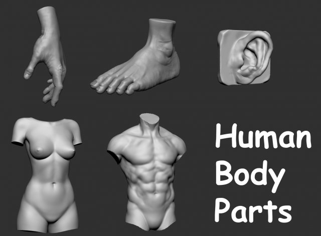human body parts 3d model / anatomy .max .c4d .obj .3ds .fbx .lwo .stl, Muscles