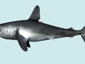 Shark Lamna Nasus Rigged