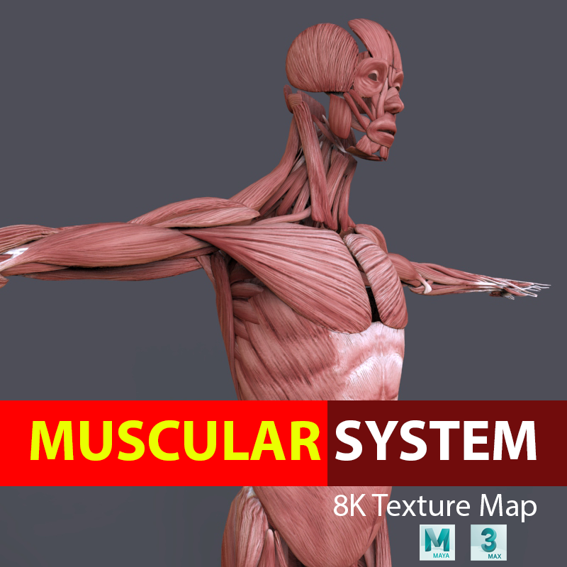 Muscular System Modelo 3D in Anatomía 3DExport