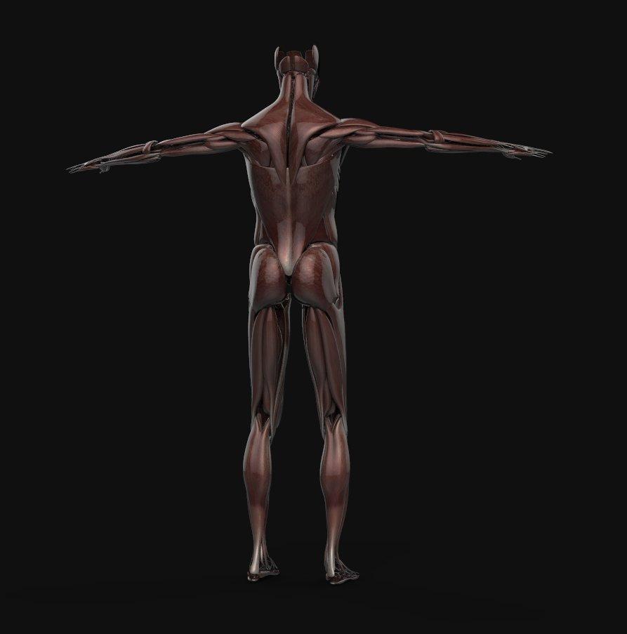 Human anatomy 3d models