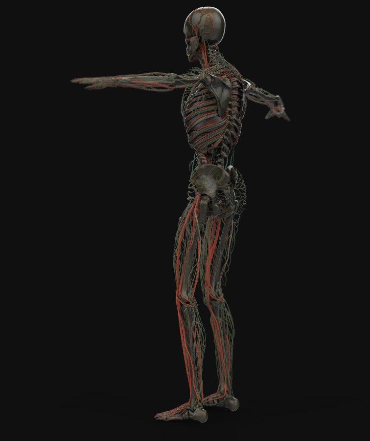 Human Anatomy Complete 3d Model In Anatomy 3dexport