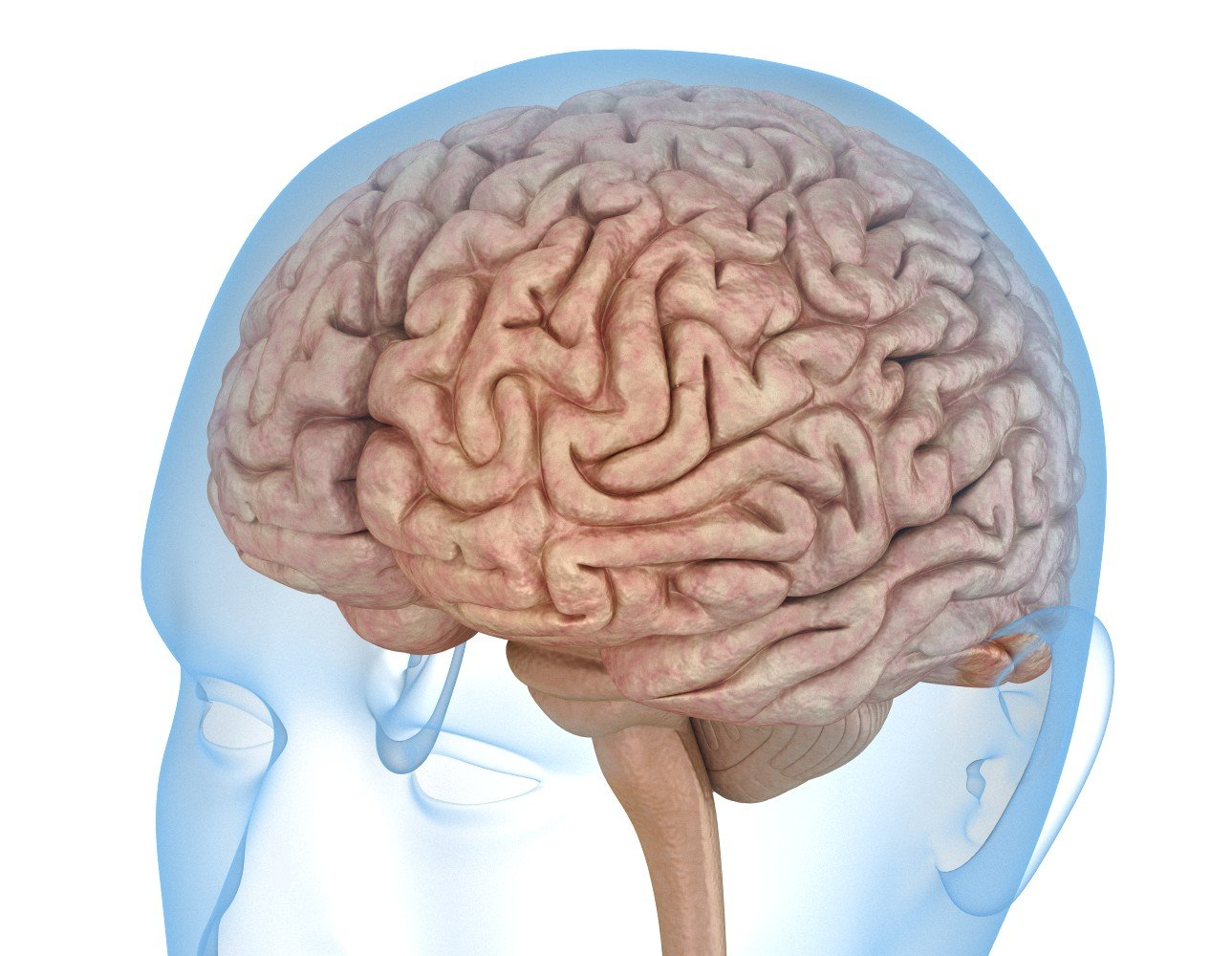 Human Brain anatomy 3D Model in Anatomy 3DExport