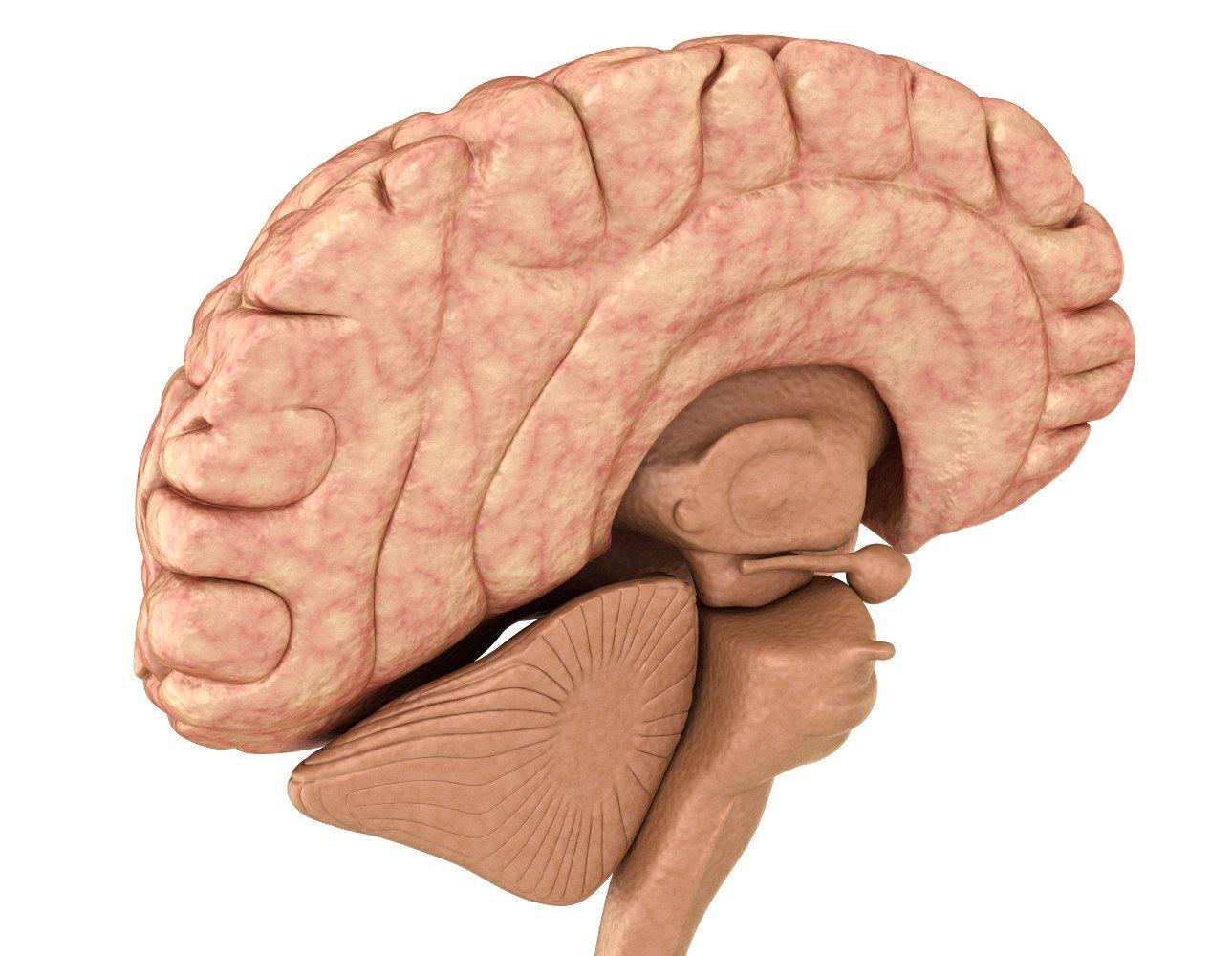 Human Brain anatomy 3D Model in Anatomy 3DExport