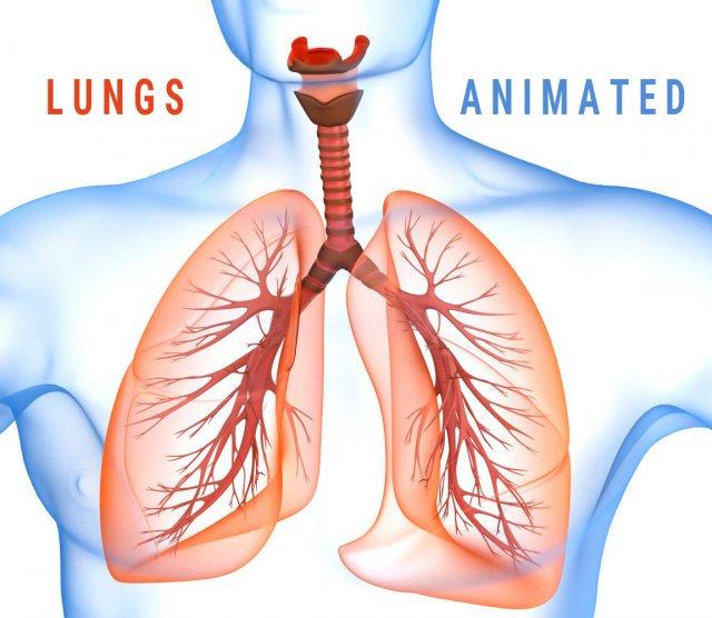Human Lungs - pulmonary system 3D Model in Anatomy 3DExport
