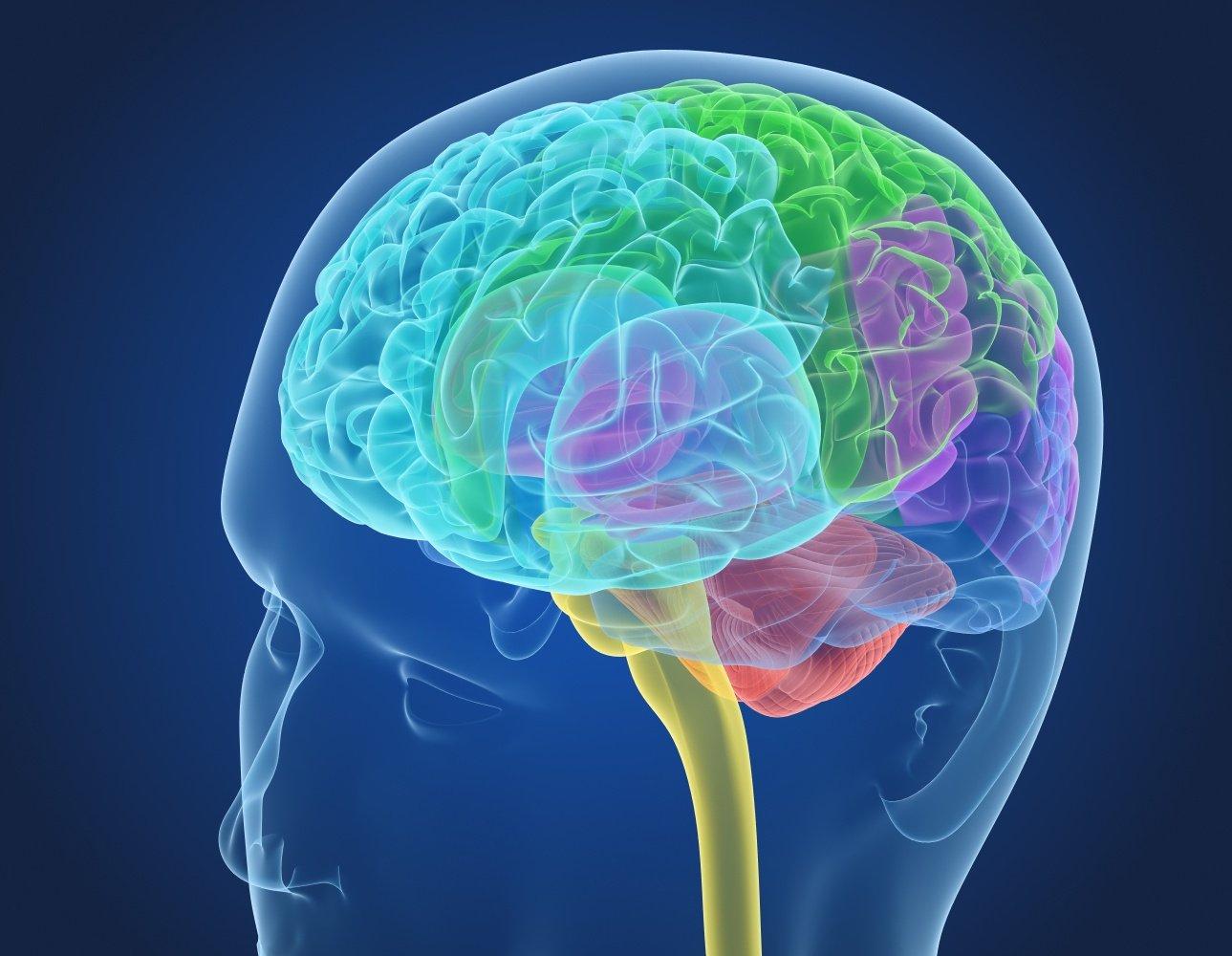 Xray Brain anatomy with inner structure 3D Model in Anatomy 3DExport