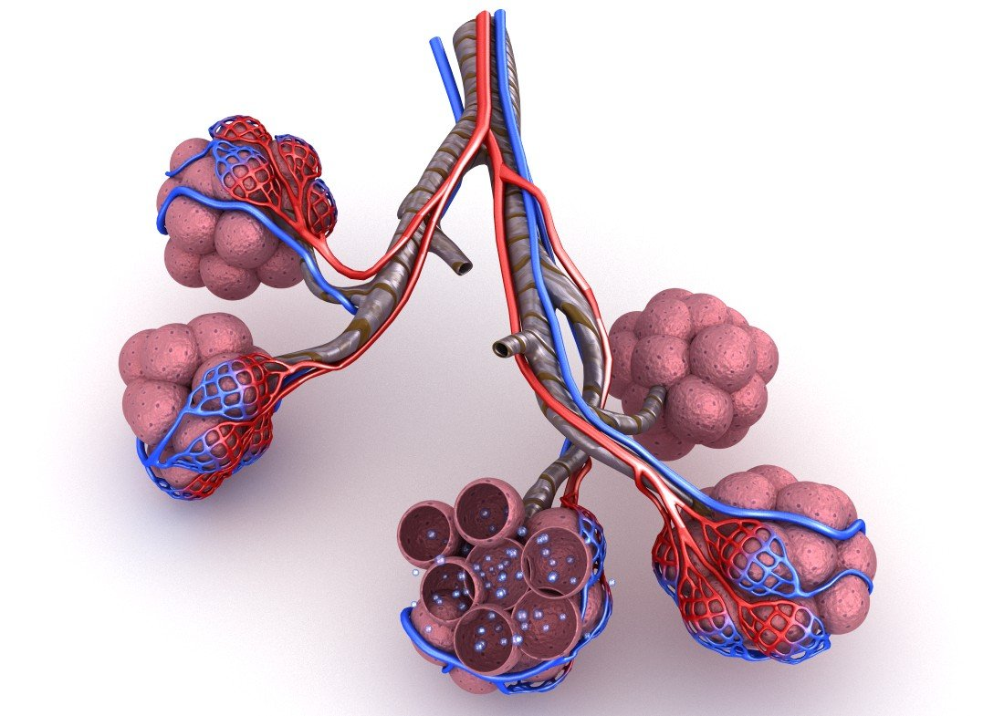 Alveoli In Lungs Blood Saturating By Oxygen 3d Model In Anatomy