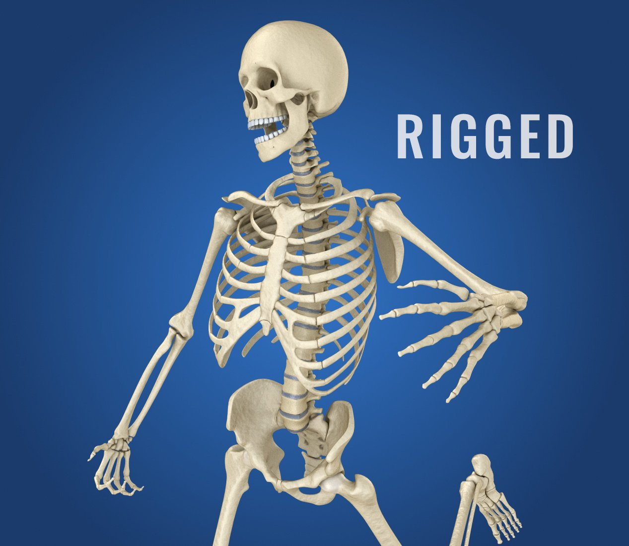 Human Skeleton Rigged 3D-Modell in Anatomie 3DExport