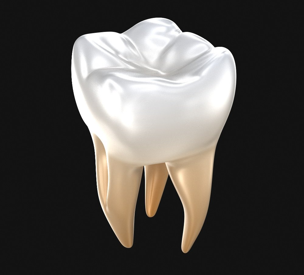 human molar tooth 3d model in anatomy 3dexport