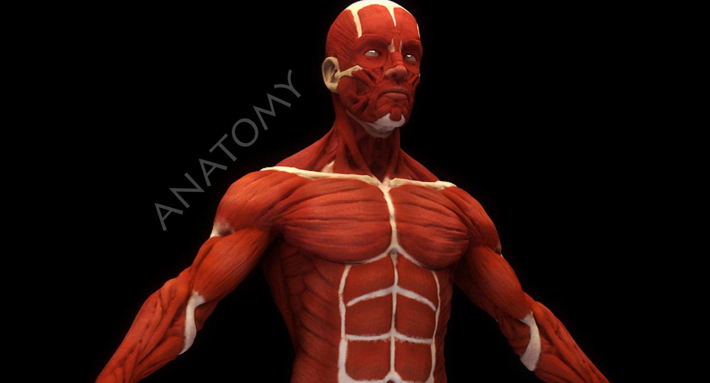 Human Anatomy Muscles 3d Modell In Anatomie 3dexport
