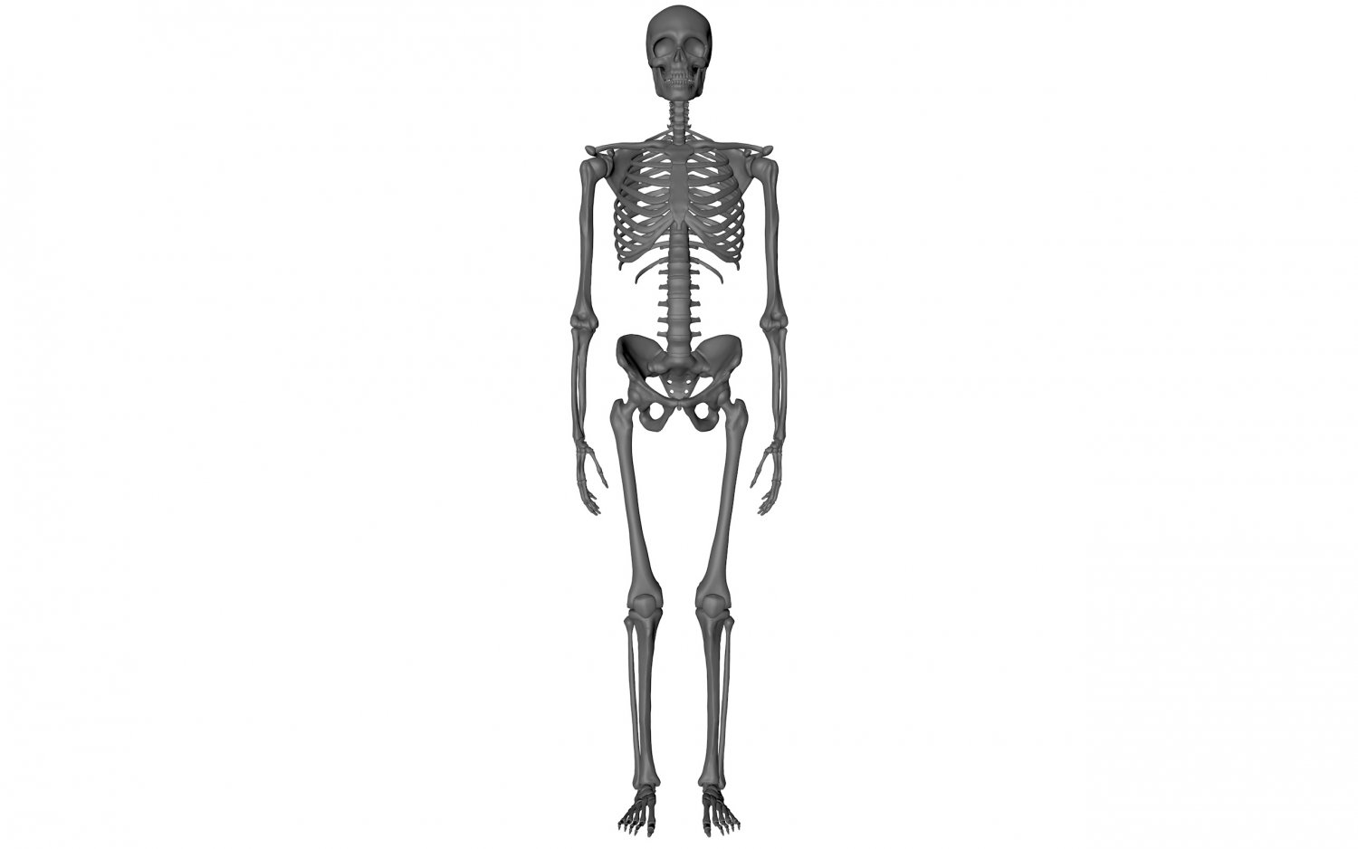 Skeleton Free 3D Model in Anatomy 3DExport