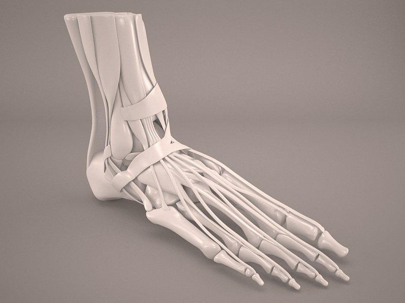 Foot Skeleton 3D Model in Anatomy 3DExport