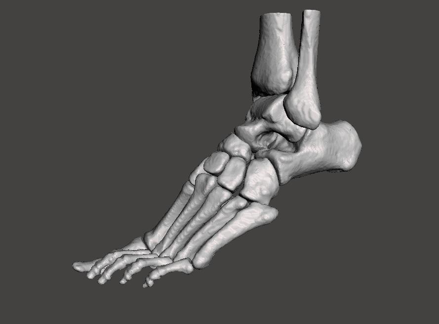 Left Foot - male 3D Model in Anatomy 3DExport
