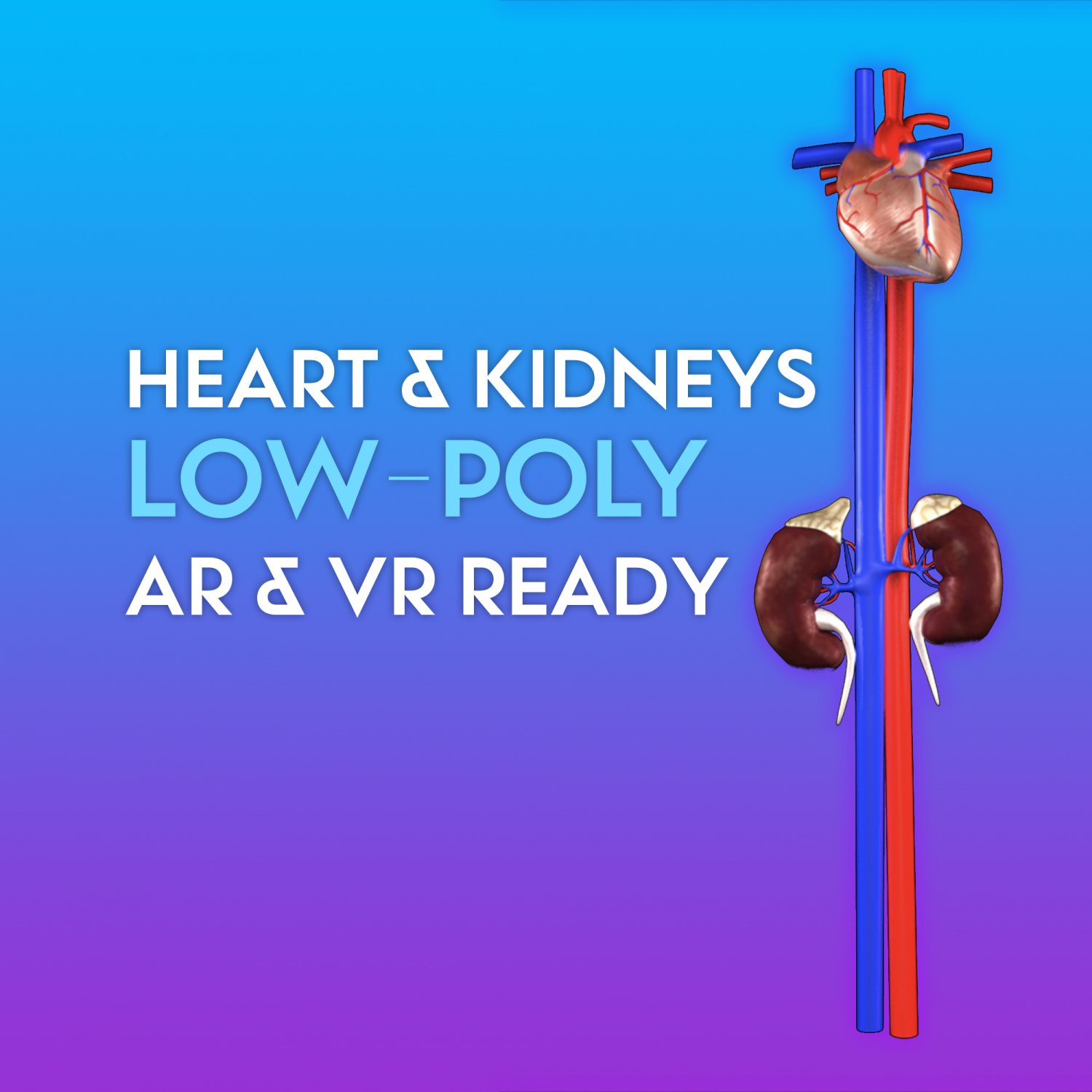 3D Heart and Kidneys - LOW-POLY 3D Model in Other 3DExport