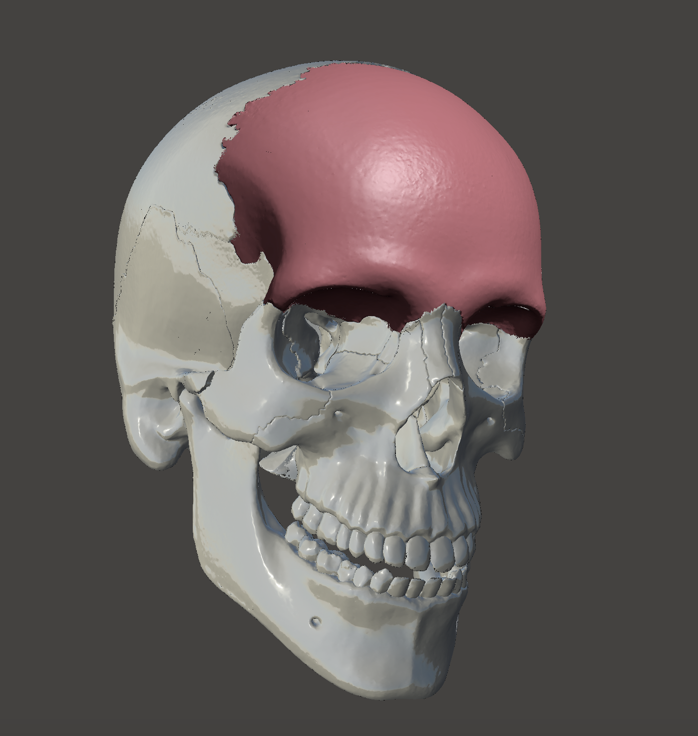 Frontal Bone Os Frontale 3d Model In Biology 3dexport